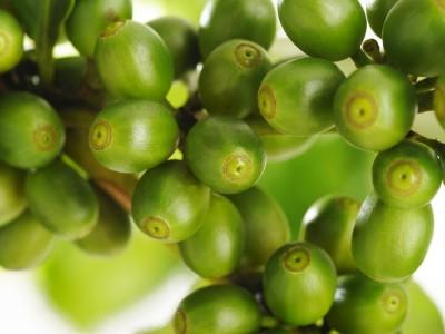 biozevtika_co2_extract_green_coffee_beans
