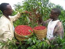 biozevtika_ethiopia_green_coffee