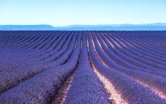 biozevtika_co2_extract_lavanda_lavender_004